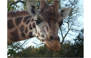 Girafe - Tigre et Engagement Client